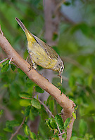 592210036 a wild orange-crowned warbler vermivora celata  on santa clara ranch starr county texas united states
