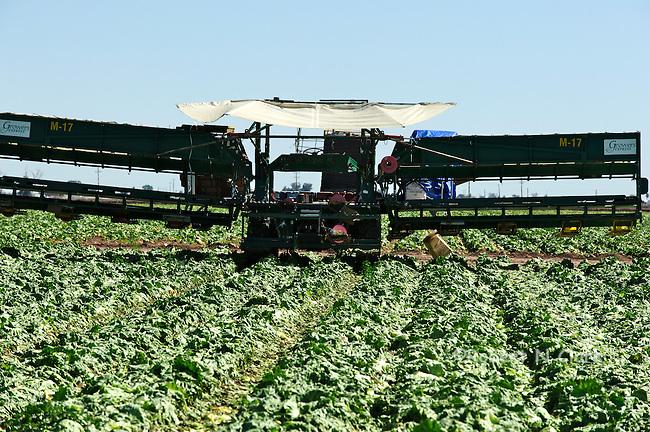 Lettuce harvesting equipment in the field