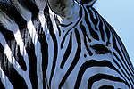 Close-up portrait of a Burchell's zebra in Kenya.