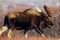 Bull Moose (Alces alces) in willows.  Late Fall.
