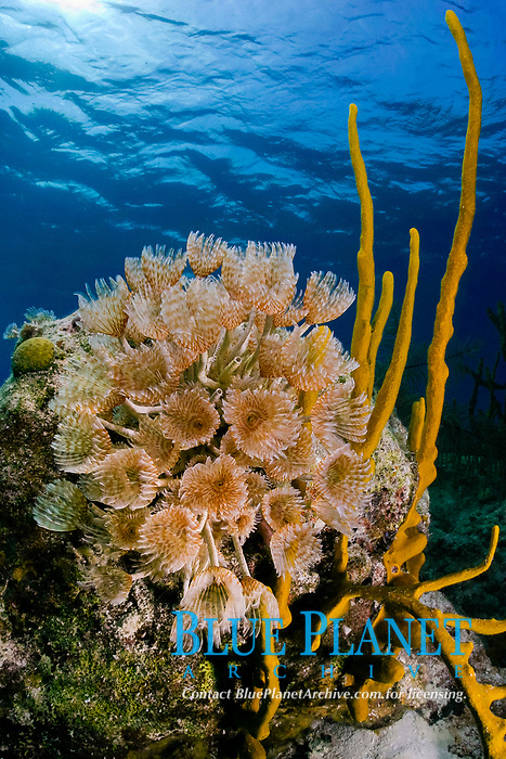 social feather duster worm or colonial fan worms, Bispira brunnea, (polychaete or segmented worm) and yellow finger or rope sponges growing on lip of Blue Hole, Lighthouse Reef Atoll, Belize, Central America (Caribbean Sea) (do)