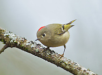Ruby-crowned kinglet (Regulus calendula) Adult male with red crest (crown) showing, perched on a lichen-covered branch<br />