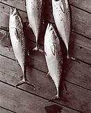 USA, Florida, Bonita fish lying on dock, close-up, New Smyrna Beach (B&W)