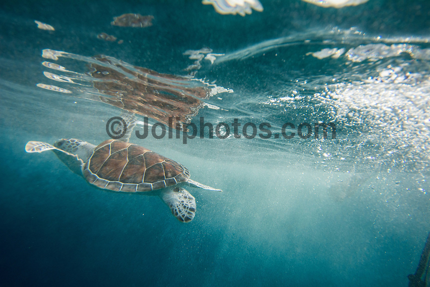 Four Seasons,Kuda Huraa, Maldives (Sunday, August 16, 2015) A four month old Green Turtle named 'Beast' was release this afternoon after a two month rehabilitation program at the Four Season Resort Turtle Conservation Centre. Beast was released on an outer coral reef with a number of other resident turtles. He swum away with in seconds of being put in the water. Photo: joliphotos.com