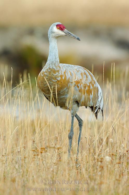 Sandhill Crane in Fall Plumage, Yellowstone National Park, Wyoming