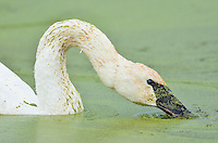 Trumpeter Swan (Cyngus buccinator) feeding on duckweed, Western U.S., Fall.  Duckweed is an important high-protein food source for waterfowl.