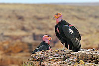 California Condor (Gymnogyps californianus) near Marble Canyon (Colorado River), Grand Canyon National Park, Arizona.