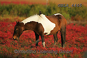 Bob, ANIMALS, REALISTISCHE TIERE, ANIMALES REALISTICOS, horses, photos+++++,GBLA4465,#a#, EVERYDAY