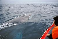 fin whale, Balaenoptera physalus, Azores Island, Portugal, North Atlantic