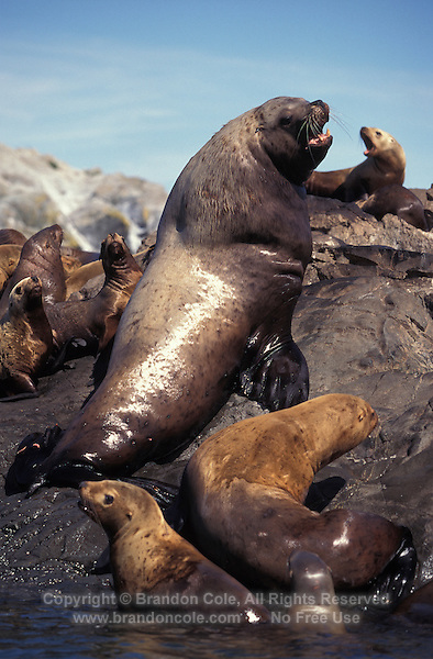 KM2439. Steller Sea Lions (Eumetopias jubatus). Alaska, USA, Pacific Ocean..Photo Copyright © Brandon Cole.  All rights reserved worldwide.  www.brandoncole.com..This photo is NOT free. It is NOT in the public domain...Rights to reproduction of photograph granted only upon payment of invoice in full.  Any use whatsoever prior to such payment will be considered an infringement of copyright...Brandon Cole.Marine Photography.http://www.brandoncole.com.email: brandoncole@msn.com.4917 N. Boeing Rd..Spokane Valley, WA 99206   USA..tel: 509-535-3489.
