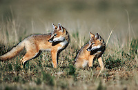 Swift fox kits, colrado