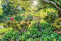 France, Cher (18), Apremont-sur-Allier, labellisé Plus Beaux Villages de France, Parc Floral d'Apremont-sur-Allier, en bordure d l'étang sous un cerisier, if doré taillé en boules, Bergenia