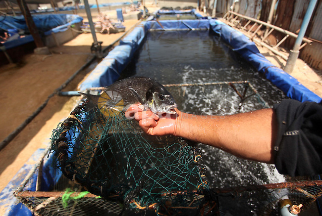A Palestinian man displays a bream fish at a fish farm in Gaza city on April 28, 2015. Restrictions placed on Gaza fishermen by Israeli naval vessels has made living from the sea an almost impossible occupation, whereas aid organizations like WFP encourage fish farming in Gaza to provide an alternative source of nutrition to the 1.6 million residents of the Strip. Photo by Ashraf Amra