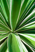 Agave, Yucca
