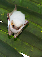 We've seen the rare ghost bat in Carara National Park a few times.  They're normally only found on the Caribbean side of Costa Rica.