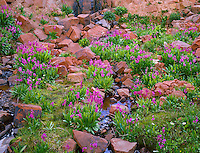 CORS 059 -   Parry's primrose (Primula parryi) blooms amid scattered boulders along a tiny, unnamed creek, La Plata Mountains, San Juan National Forest, Colorado, USA --- (4x5 inch original, File size: 7836x6000, 134.5mb uncompressed)