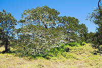 Koa trees on the slopes of Mauna Loa, Big Island.