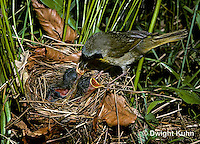 WB05-003z  Common Yellowthroat Warbler - adult male feeding young at nest - Geothlypis trichas
