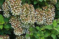 Hydrangea quercifolia 'Snowflake' Oak leaf Hydrangea in bloom in August
