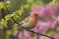 Male House Finch (Carpodacus mexicanus) in redbud tree.  Spring.