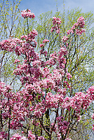 Malus DurLawrence (Courageous Crabapple) in pink flowers in spring . Crab apple