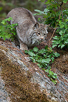 Canada Lynx looking down a hill - CA