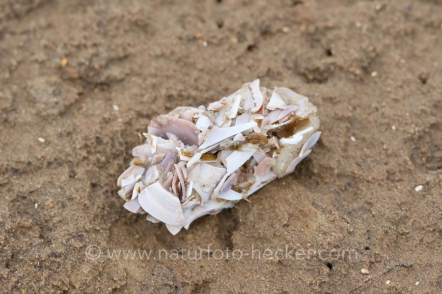 Möwengewölle, Gewölle einer Möwe am Strand mit Muschel- und Schnecken-Schalenreste