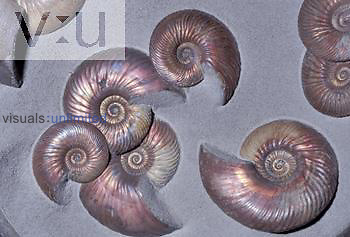 Ammonite, Jurassic period (Quenstedticeras sp.) Saraton, Russia