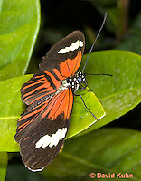 0101-0914  Elevatus Butterfly, Heliconius elevatus, Amazon © David Kuhn/Dwight Kuhn Photography