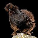 13/10/07 - THIERS - PUY DE DOME - FRANCE - 41 Exposition d aviculture, Championnat Regional du Bantam Club Francais. Poule Negre Soie Barbue Noire - Photo Jerome CHABANNE