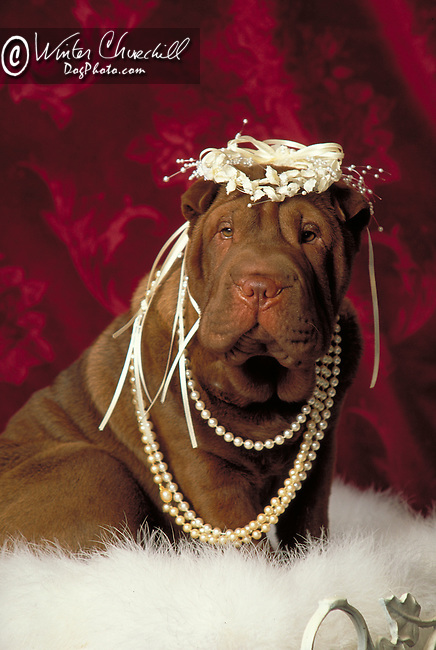 shar-pei Shopping cart has 3 Tabs:<br /> <br /> 1) Rights-Managed downloads for Commercial Use<br /> <br /> 2) Print sizes from wallet to 20x30<br /> <br /> 3) Merchandise items like T-shirts and refrigerator magnets