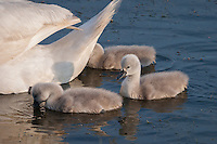 Mute Swan {Cygnus olor} Cygnets Dabbling at Elmley Marshes, Isle of Sheppey, Kent
