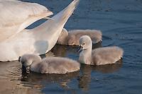 Mute Swan {Cygnus olor} Cygnets Dabbling at Elmley Marshes, Isle of Sheppey, Kent