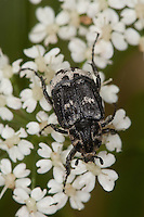 Stolperkäfer, Stolper-Käfer, Männchen beim Blütenbesuch, Valgus hemipterus, Scarabaeus hemipterus