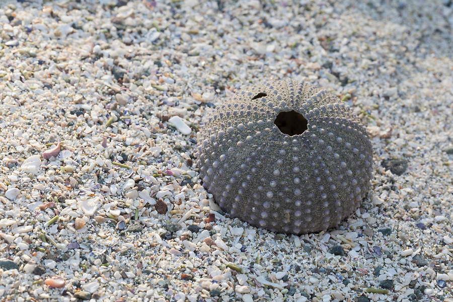 Seeigel-Skelett am Strand, Spülsaum, Skelett eines regelmäßigen Seeigel, Regularia, Seeigel-Kalk-Skelett, Corona, Sea urchin, urchin, sea hedgehog, carcass, drift line. Seeigel, Echinoidea, Sea urchins, urchins, sea hedgehogs, Échinioïdes, Échinides, Oursins, Hérissons de mer, Châtaignes de mer