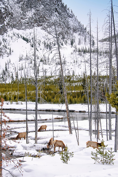 Woodland caribou feeding under the snows in Yosemite National Park, Montana.