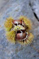 A fresh chestnut in its protective bur
