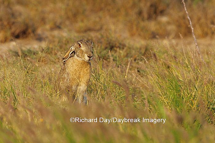 02203-00319 Black-tailed Jack Rabbit (Lepus californicus)  Starr Co. TX