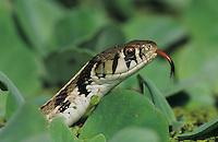 Checkered Garter Snake, Thamnophis marcianus marcianus, adult, Lake Corpus Christi, Texas, USA