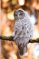 Great Gray Owl, Yellowstone National Park, Wyoming