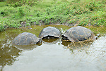 three giant tortoises in the water in el chatto santa cruz galapagos