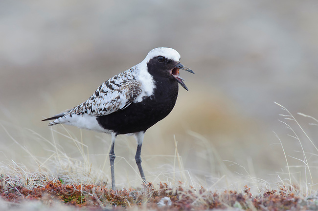 Adult male Black-bellied Plover (Pluvialis squatarola) giving an alarm call. Seward Peninsula, Alaska. June.