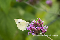 03061-00319 Cabbage White (Pieris rapae) on Brazilian Verbena ( Verbena bonariensis) Marion Co. IL