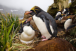 A macaroni penguin pair at their nest in the rookery above Hercules Bay on South Georgia Island.