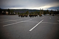 Bison Parking - Old Faithful Parking Lot - Yellowstone National Park