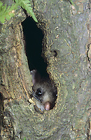 Siebenschläfer, in Baumhöhle, Glis glis, edible dormouse, edible commoner dormouse, fat dormouse, squirrel-tailed dormouse, Schläfer, Bilch, Bilche