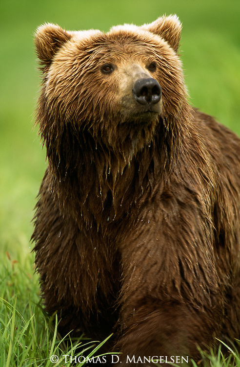 Portrait of a grizzly bear in Alaska