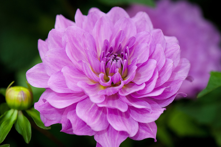 Dahlia 'Karma Lagoon', early July. A purple-pink Decorative Group dahlia.
