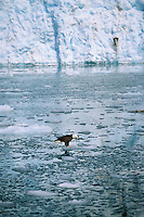 Bald eagle, Meares Inlet, Meares glacier, Prince William Sound, Alaska.