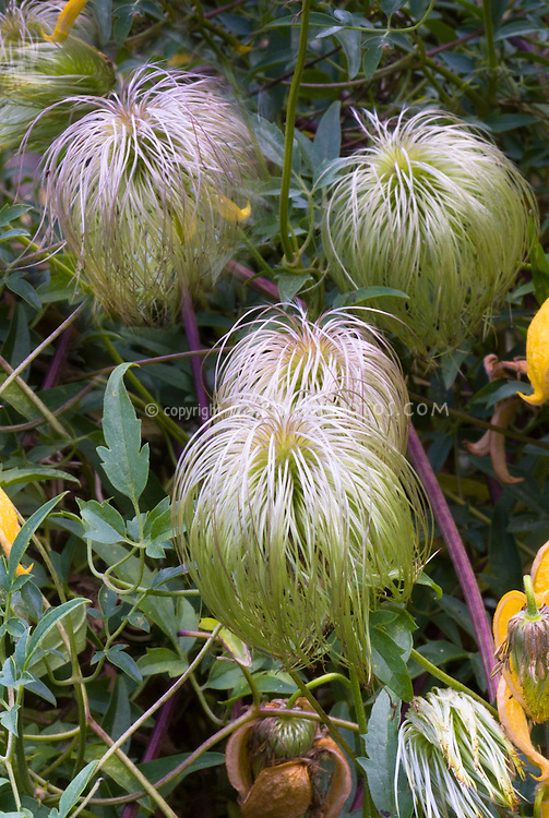 clematis tangutica fluffy seed heads plant flower. Black Bedroom Furniture Sets. Home Design Ideas
